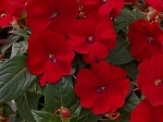 Upright Impatiens, Sunpatiens: Fire Red